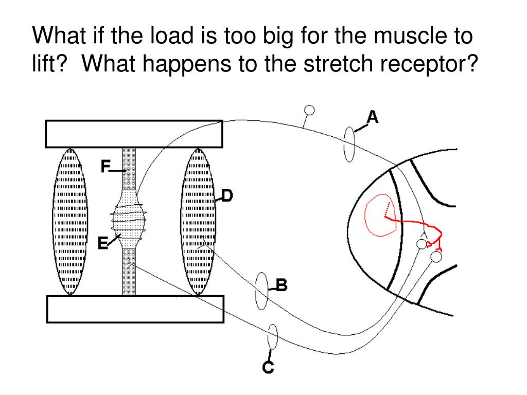 What if the load is too big for the muscle to lift?  What happens to the stretch receptor?