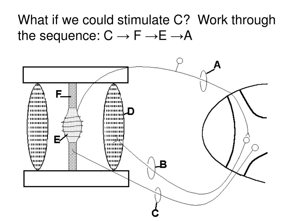 What if we could stimulate C?  Work through the sequence: C