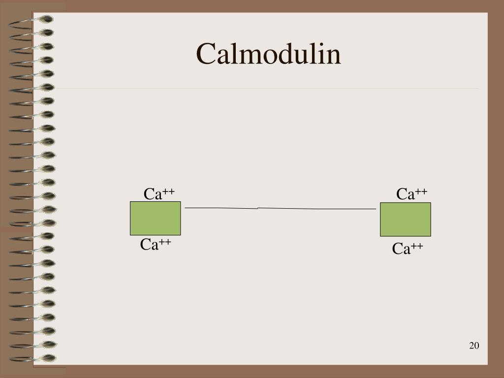 Calmodulin