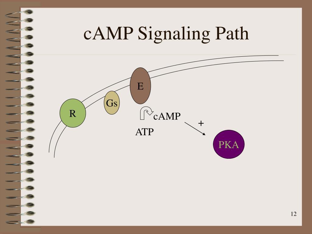 cAMP Signaling Path