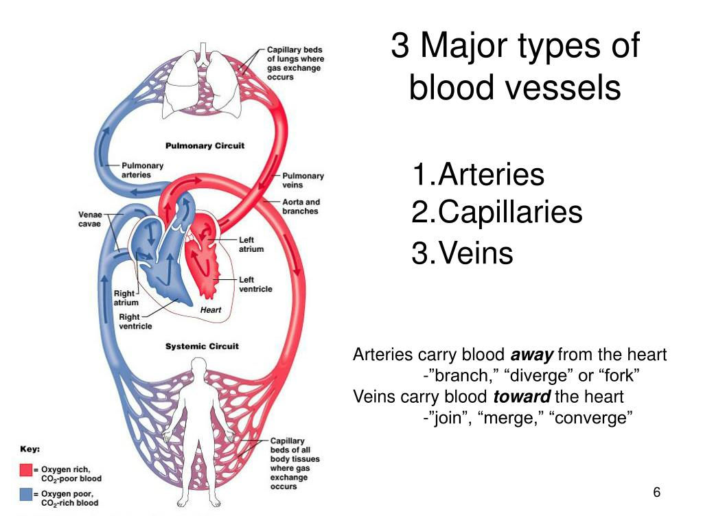 3 Major types of blood vessels