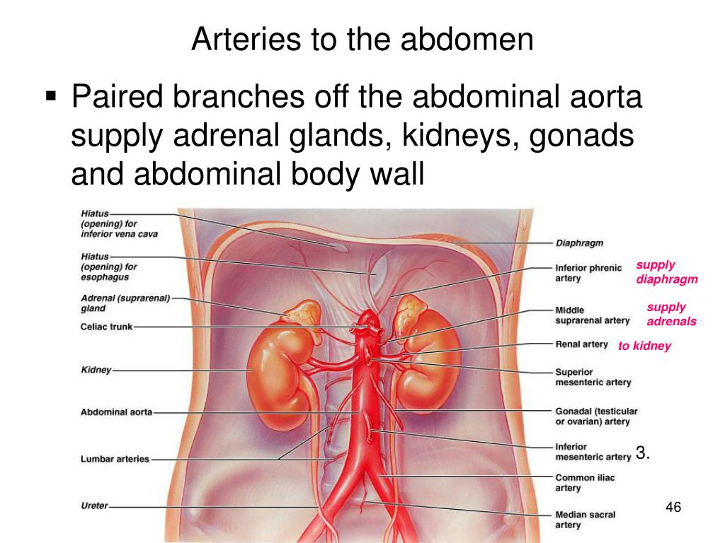 Arteries to the abdomen