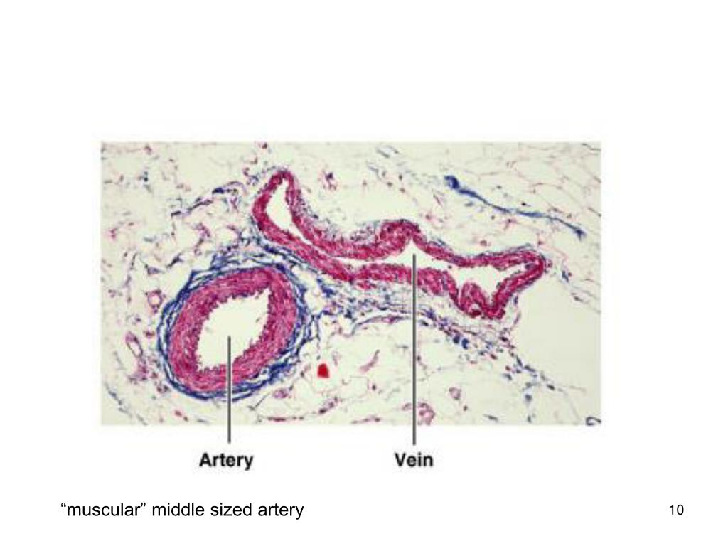 """muscular"" middle sized artery"