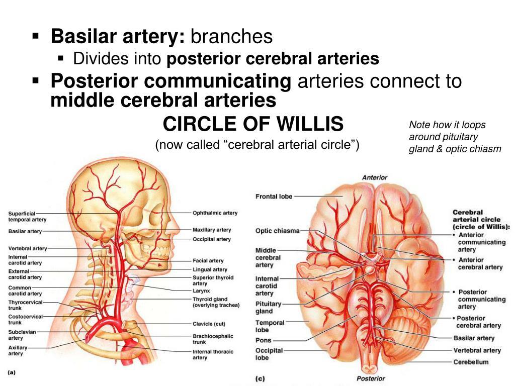 Basilar artery: