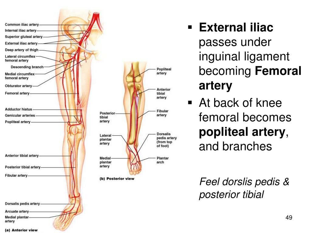 External iliac