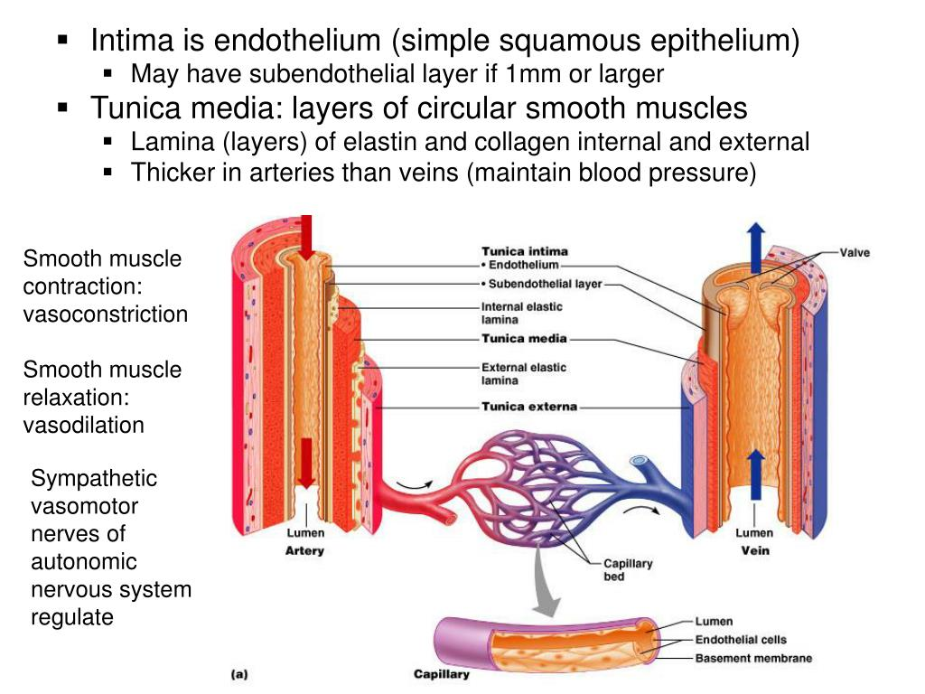 Intima is endothelium (simple squamous epithelium)
