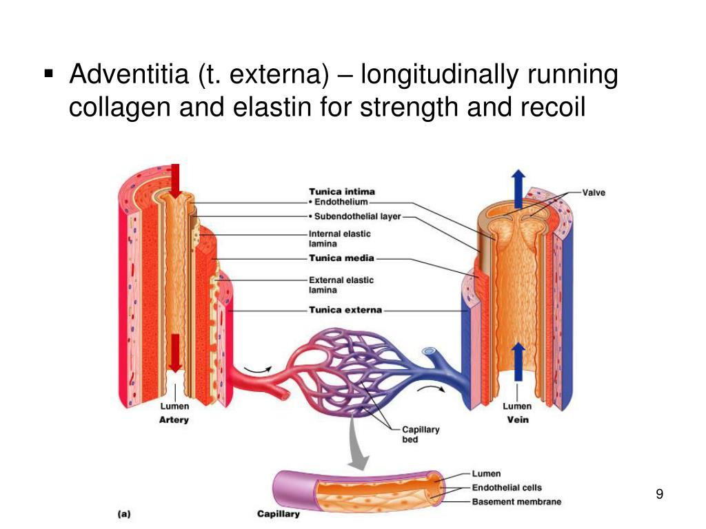 Adventitia (t. externa) – longitudinally running collagen and elastin for strength and recoil