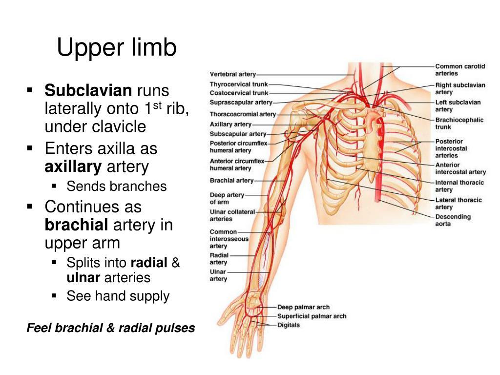 Upper limb