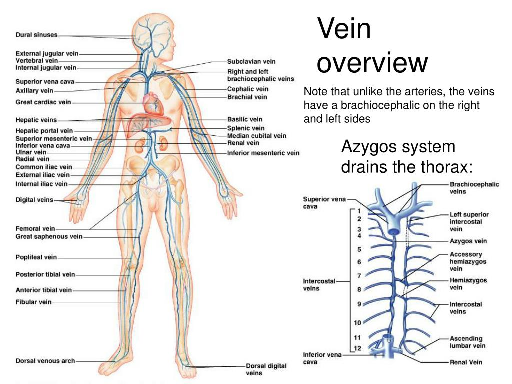 Vein overview