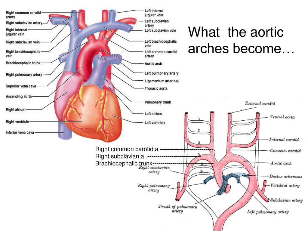 What  the aortic    arches become…