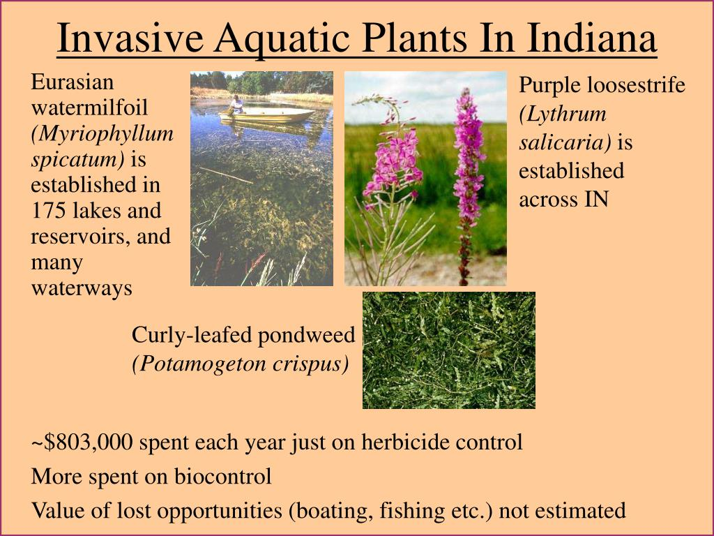 Invasive Aquatic Plants In Indiana