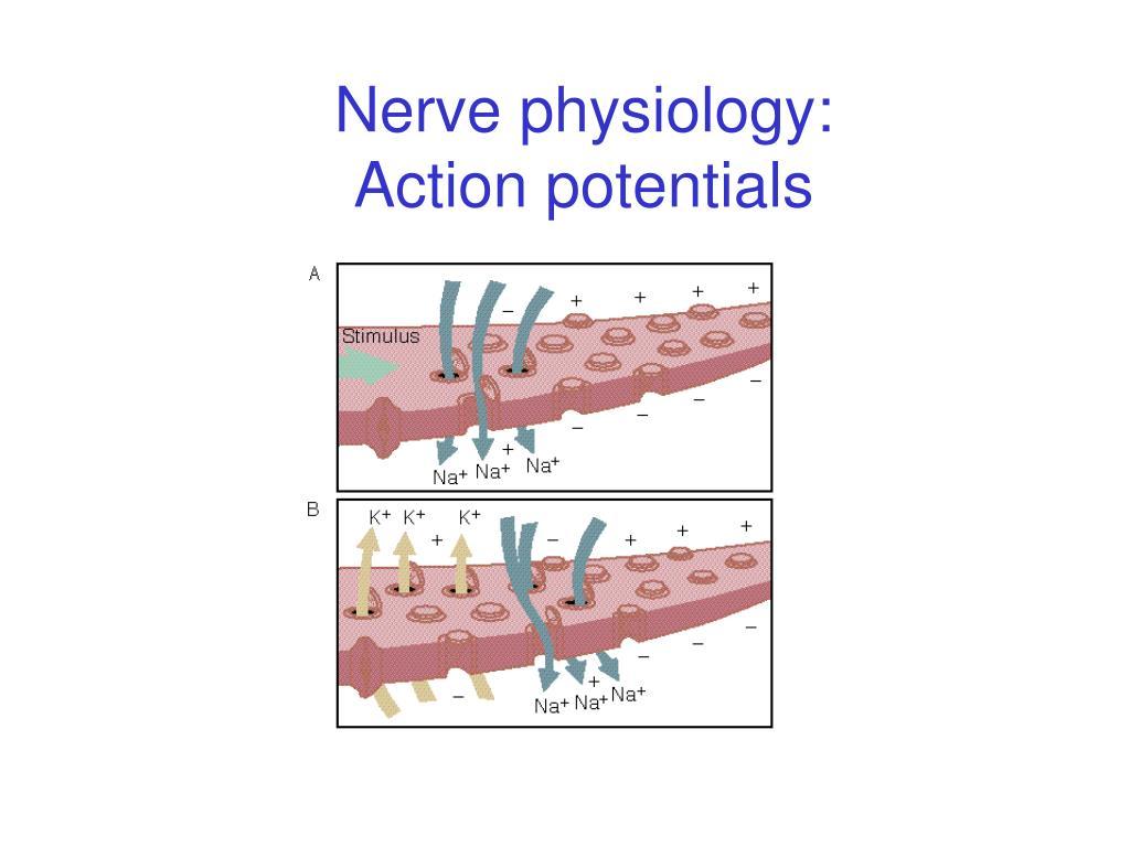 Nerve physiology: