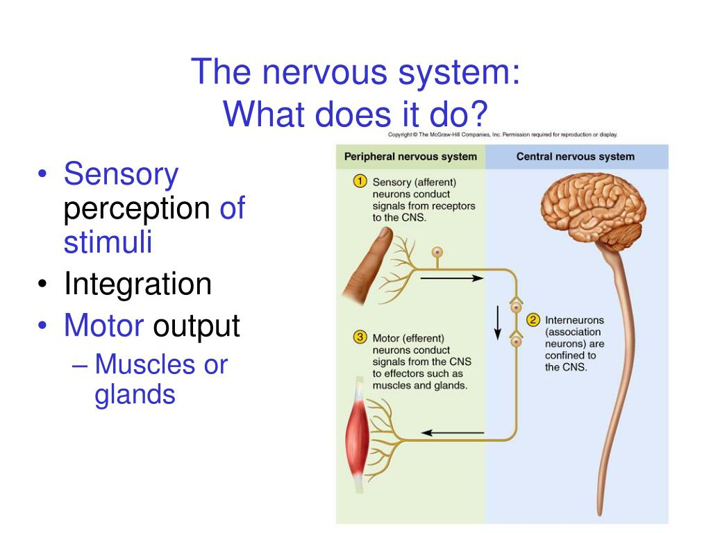 The nervous system: