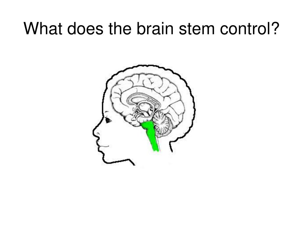 What does the brain stem control?