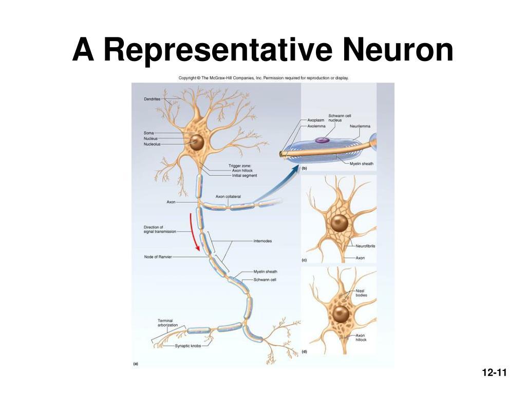 A Representative Neuron