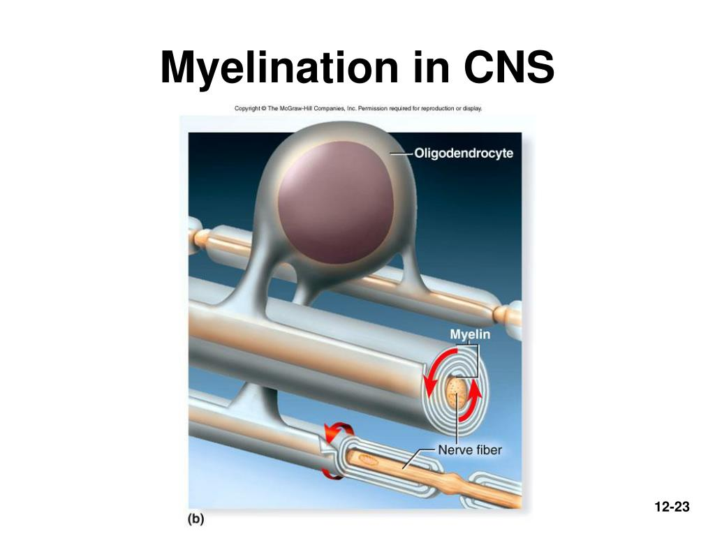 Myelination in CNS