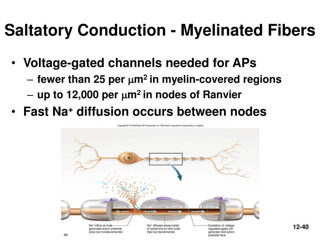 Saltatory Conduction - Myelinated Fibers