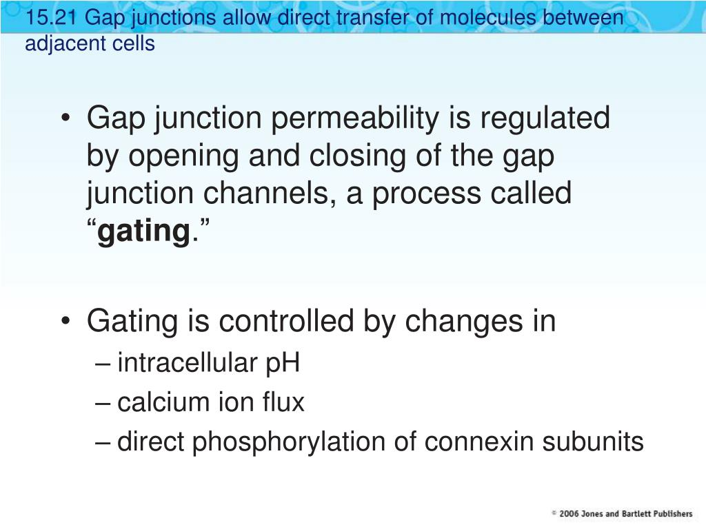 15.21 Gap junctions allow direct transfer of molecules between adjacent cells