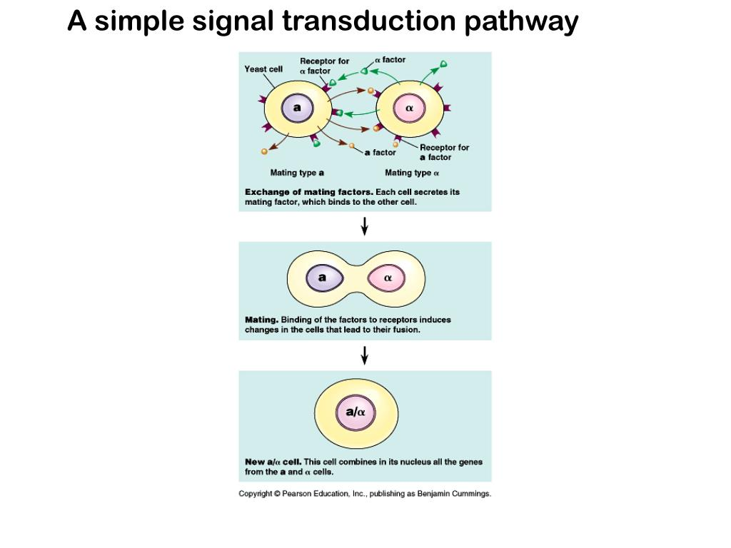 A simple signal transduction pathway