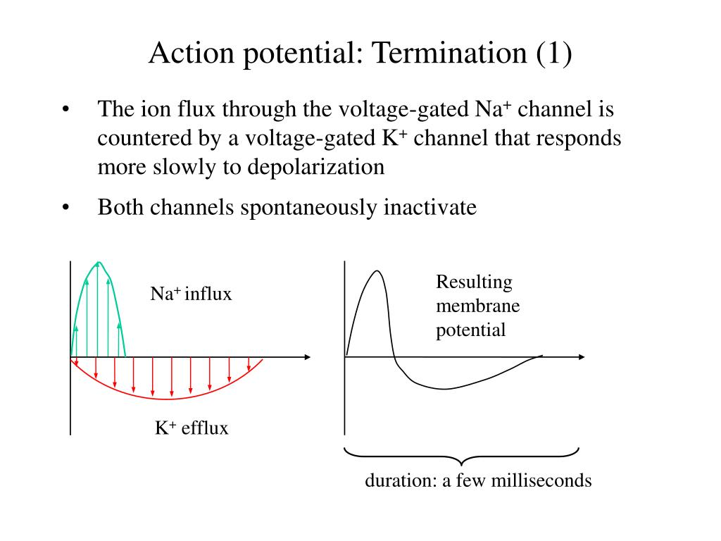 Action potential: Termination (1)