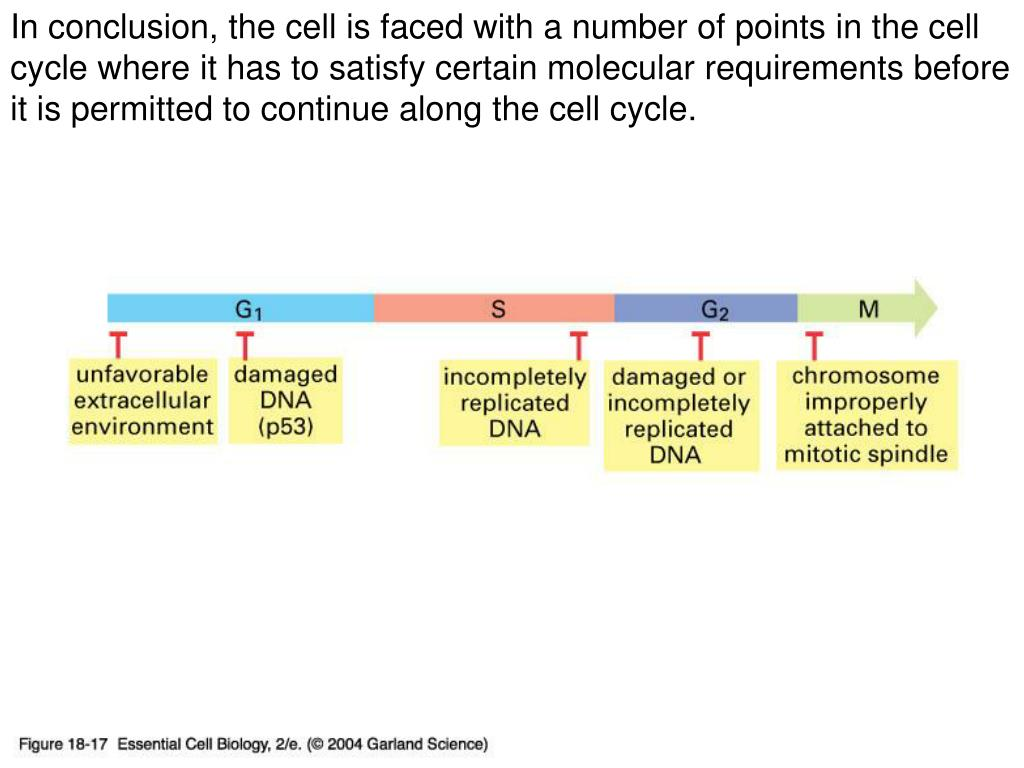 In conclusion, the cell is faced with a number of points in the cell cycle where it has to satisfy certain molecular requirements before it is permitted to continue along the cell cycle.