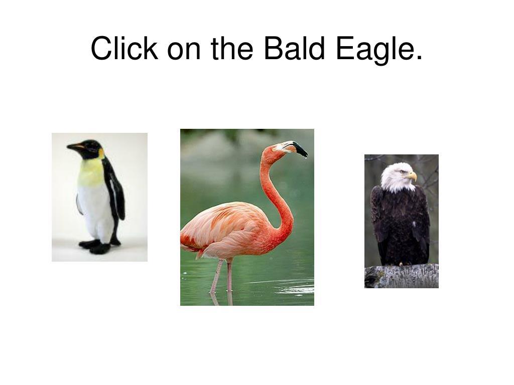 Click on the Bald Eagle.