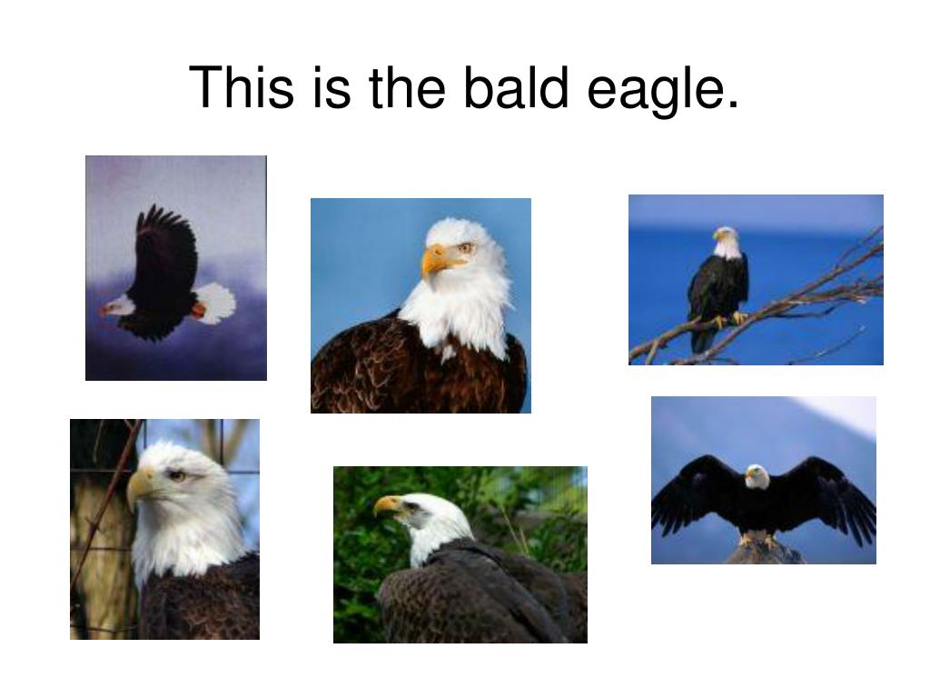 This is the bald eagle.