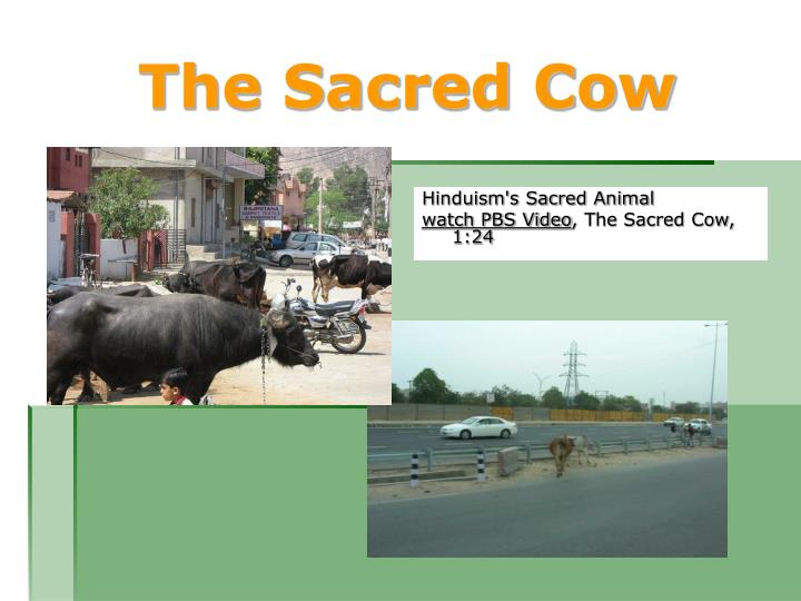 The Sacred Cow