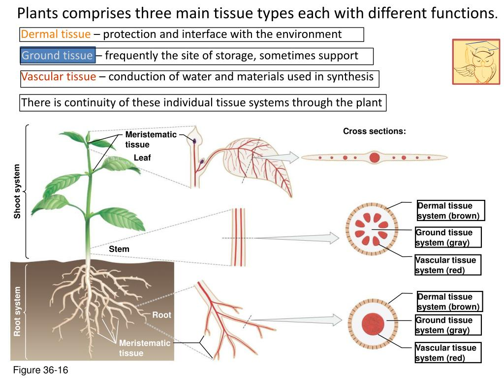 plant tissue types and functions pdf