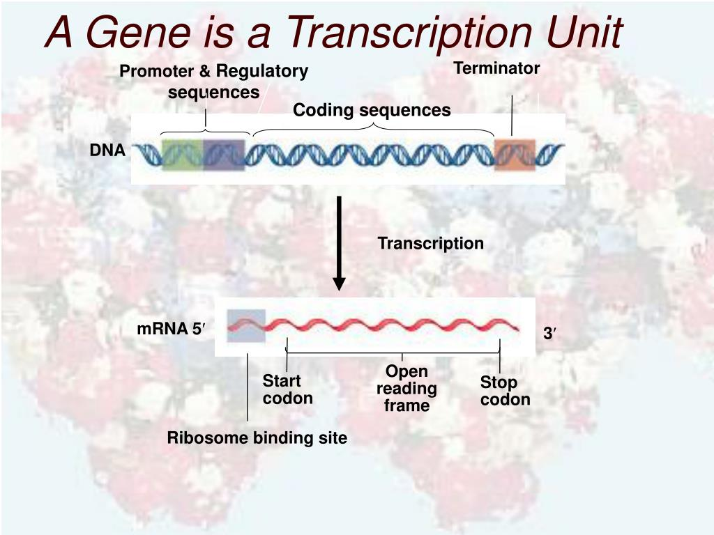 A Gene is a Transcription Unit