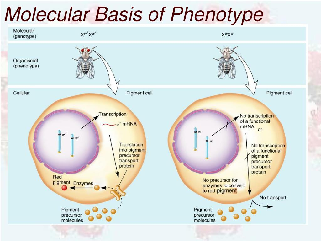 Molecular Basis of Phenotype