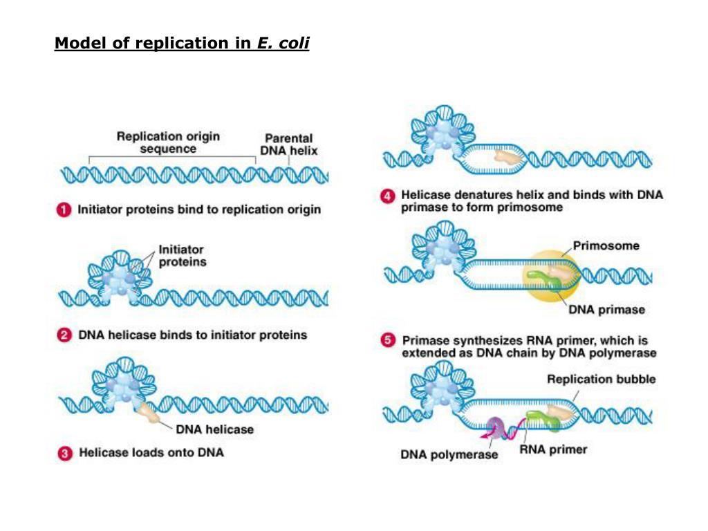 Model of replication in