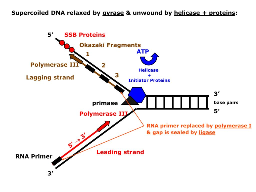 Supercoiled DNA relaxed by
