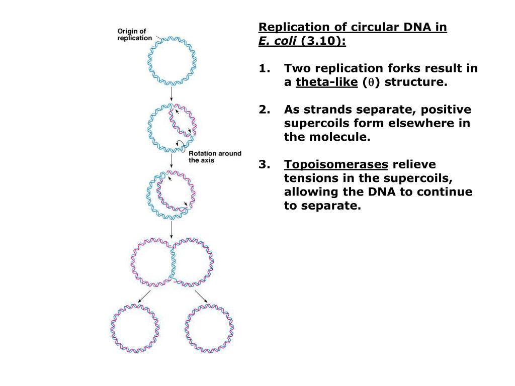 Replication of circular DNA in