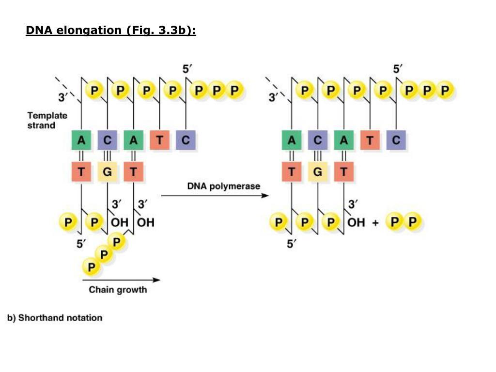DNA elongation (Fig. 3.3b):