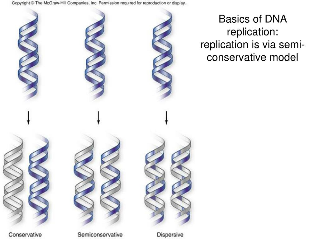 Basics of DNA replication: