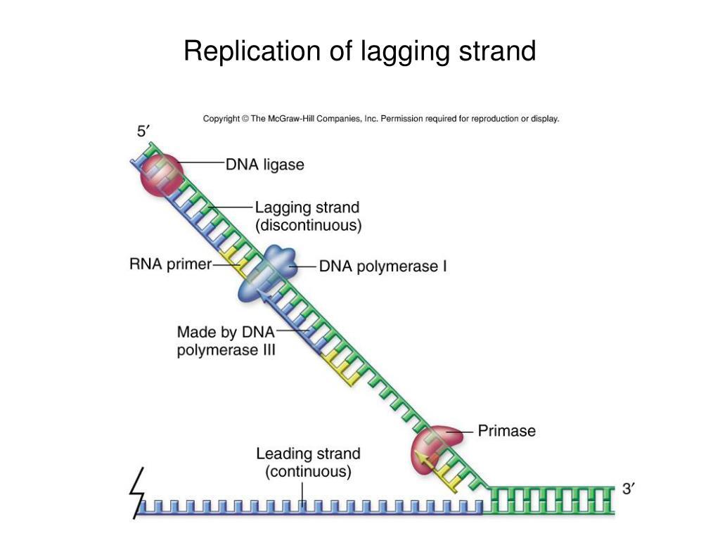 Replication of lagging strand