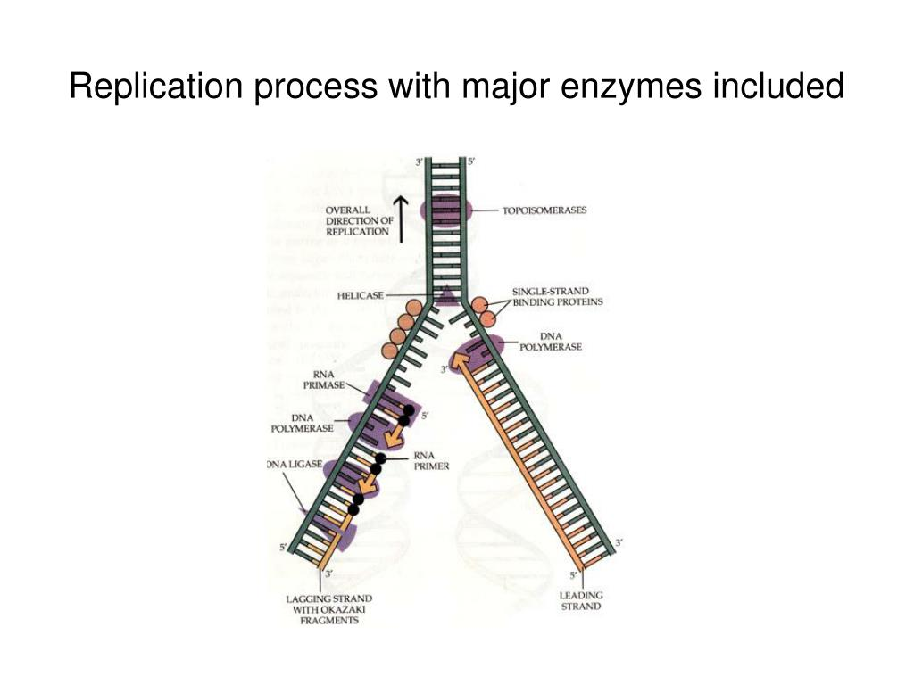 Replication process with major enzymes included