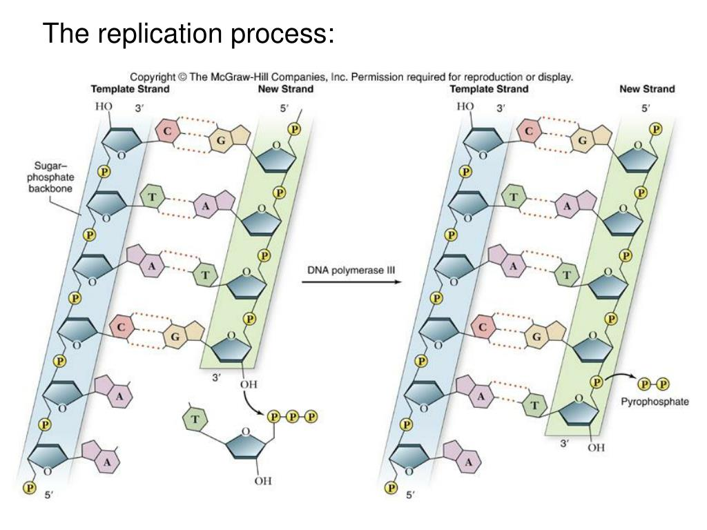 The replication process: