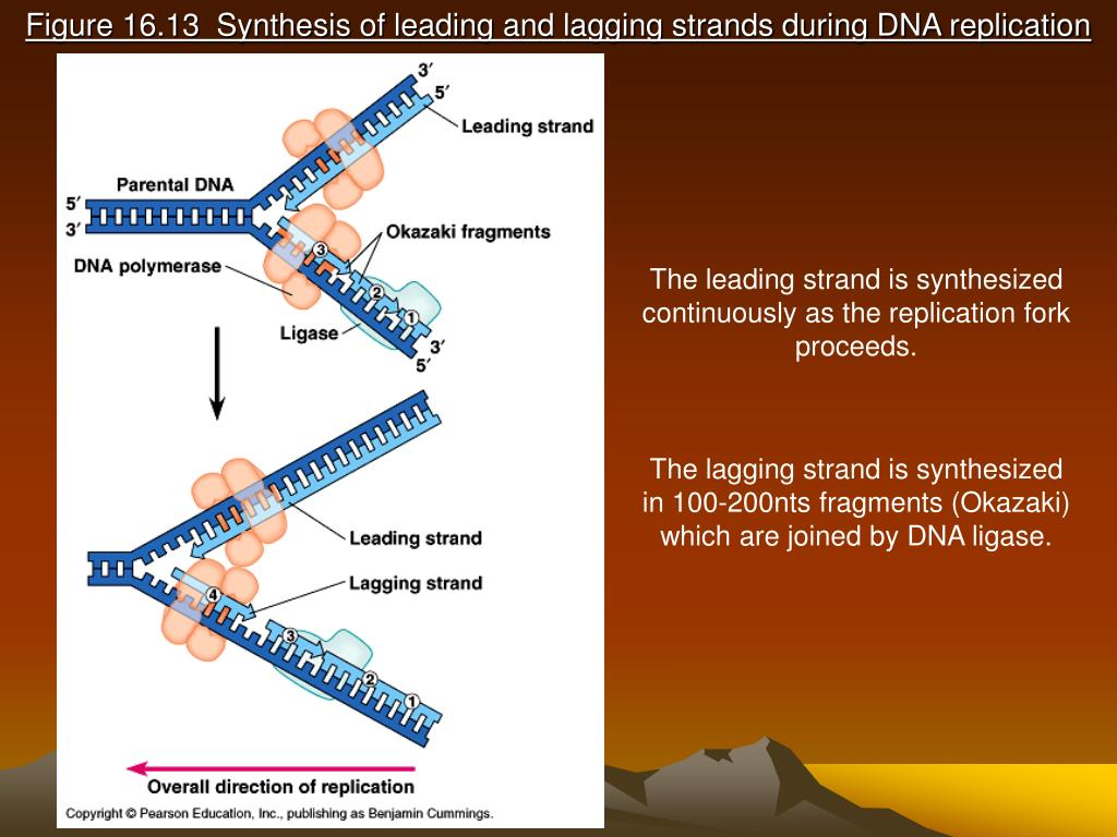 Figure 16.13  Synthesis of leading and lagging strands during DNA replication