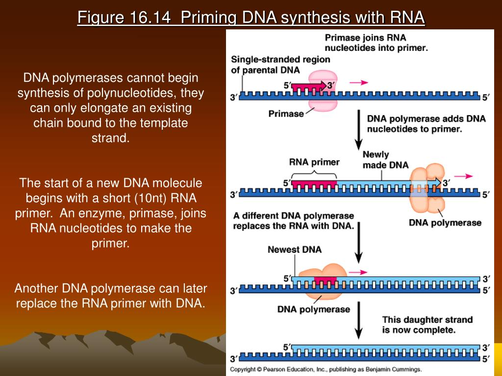 Figure 16.14  Priming DNA synthesis with RNA