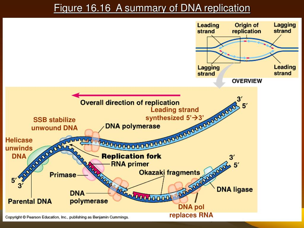 Figure 16.16  A summary of DNA replication