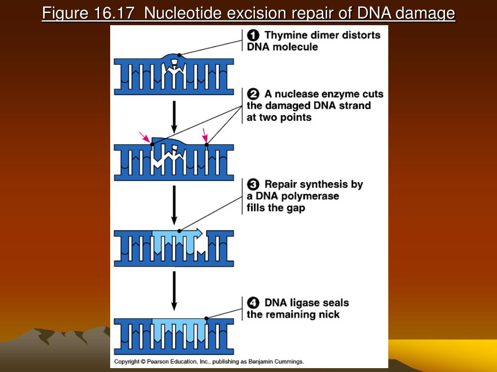 Figure 16.17  Nucleotide excision repair of DNA damage