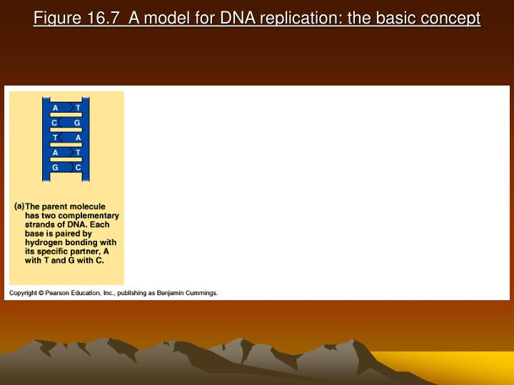 Figure 16 7 a model for dna replication the basic concept