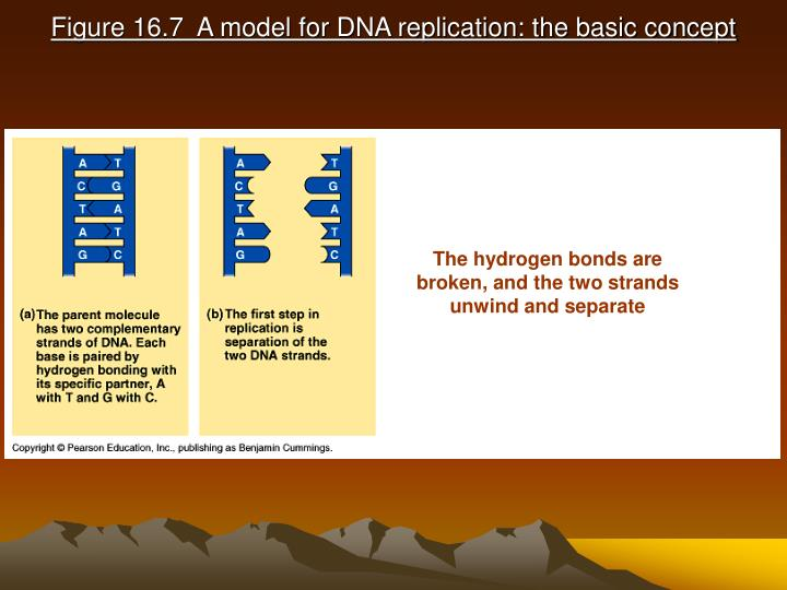 Figure 16 7 a model for dna replication the basic concept3