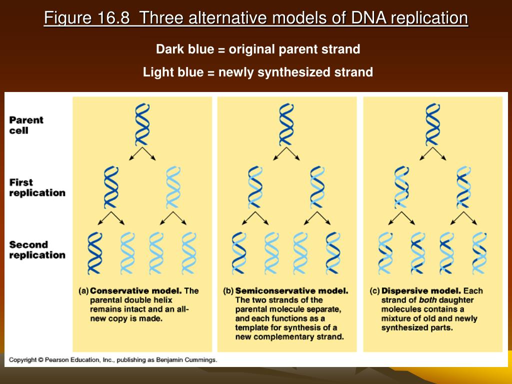 Figure 16.8  Three alternative models of DNA replication
