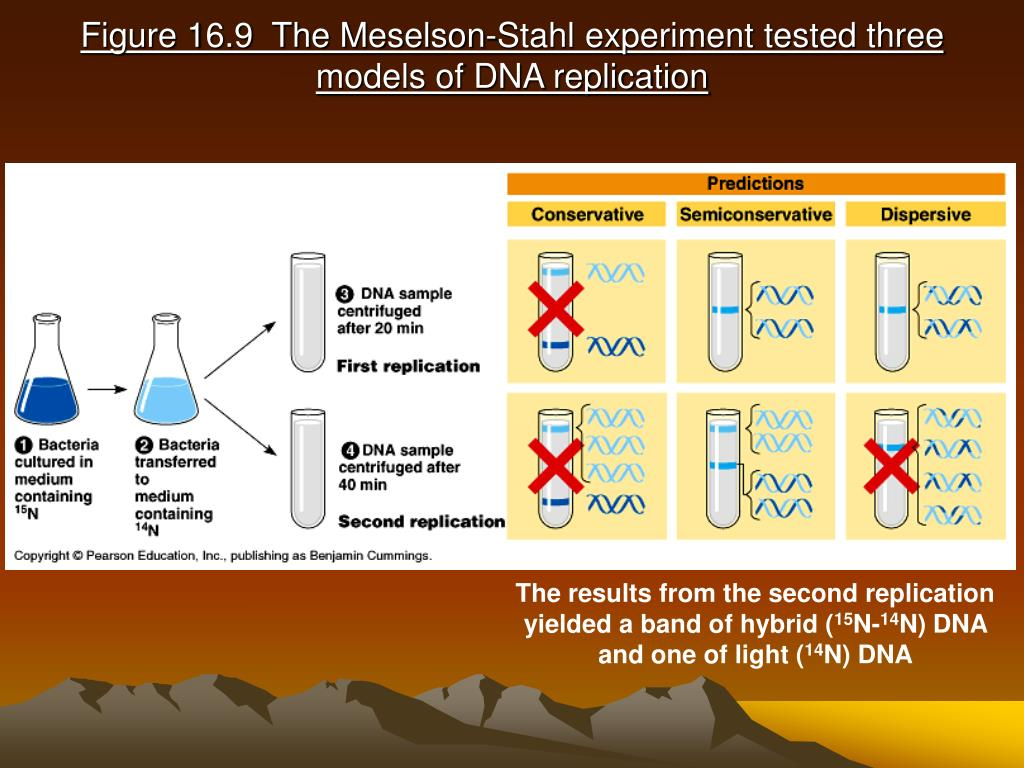 Figure 16.9  The Meselson-Stahl experiment tested three models of DNA replication