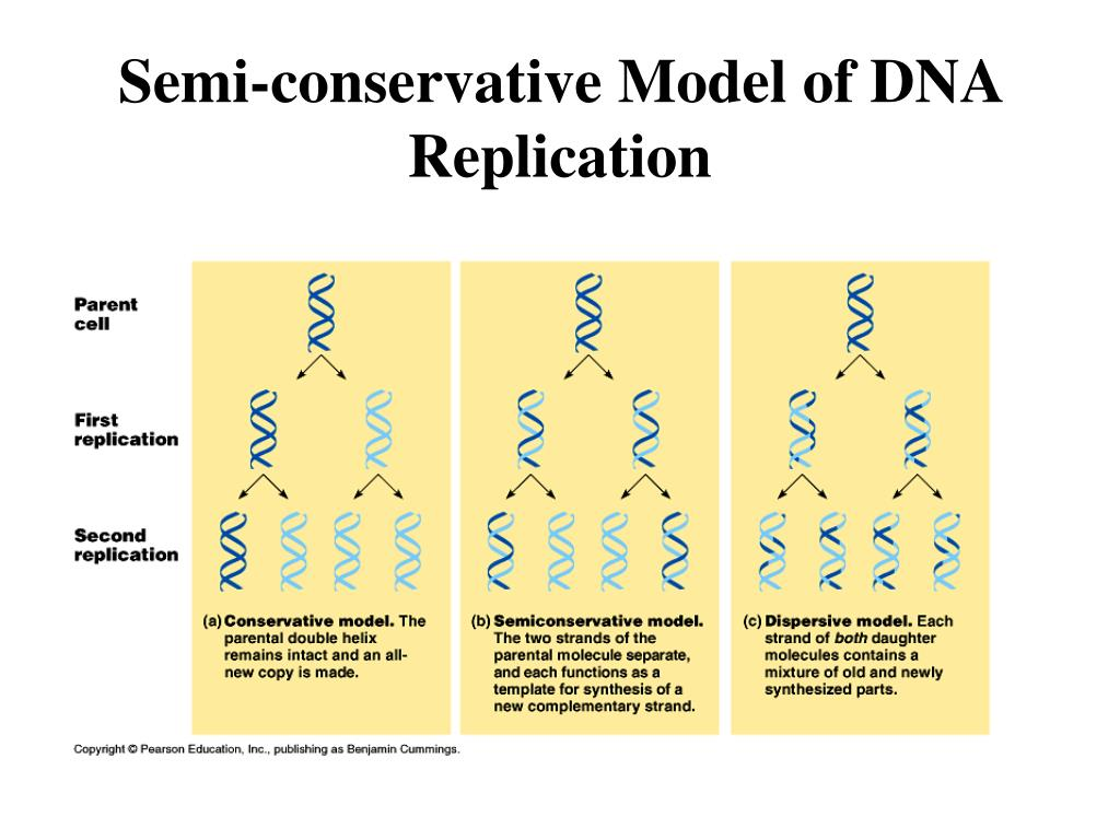 Semi-conservative Model of DNA Replication