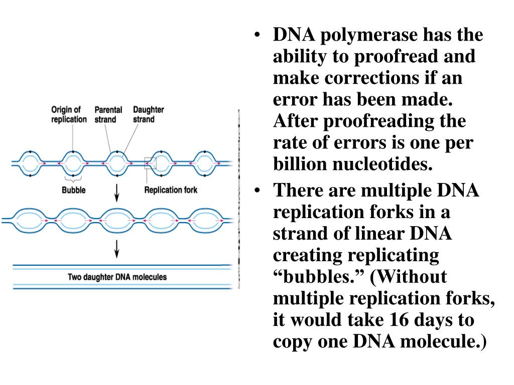 DNA polymerase has the ability to proofread and make corrections if an error has been made.  After proofreading the rate of errors is one per billion nucleotides.