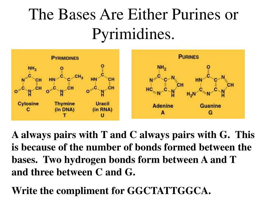 The Bases Are Either Purines or Pyrimidines.
